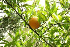 Free Citrus, Fruit Tree, Plant, Fruit Stock Photos - 117885403