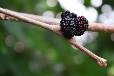 Free Mulberry, Fruit Tree, Red Mulberry, Berry Stock Photography - 117885442