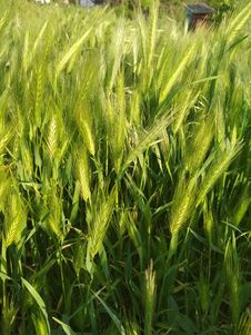 Free Triticale, Food Grain, Barley, Grass Royalty Free Stock Image - 117885446