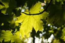 Free Leaf, Maple Leaf, Autumn, Tree Royalty Free Stock Image - 117885476