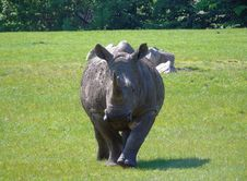 Free Rhinoceros, Grass, Terrestrial Animal, Fauna Royalty Free Stock Photography - 117885477
