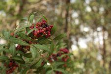 Free Berry, Plant, Pistacia Lentiscus, Buffaloberries Stock Photo - 117885500