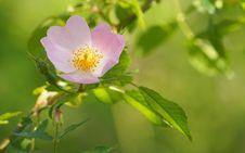Free Flower, Rosa Canina, Rose Family, Rosa Rubiginosa Stock Photography - 117885582