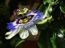 Free Flower, Plant, Passion Flower, Passion Flower Family Royalty Free Stock Photo - 117885595