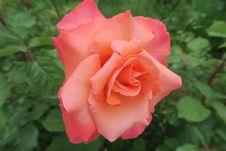 Free Rose, Flower, Rose Family, Floribunda Stock Image - 117885711