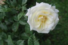 Free Flower, Rose, Rose Family, White Royalty Free Stock Photos - 117885738