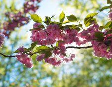 Free Blossom, Spring, Flower, Cherry Blossom Stock Image - 117885861