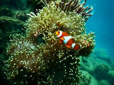 Free Red And White Clownfish Under Water Stock Photo - 117917360