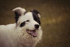 Free Adult Black And White Border Collie Royalty Free Stock Image - 117917376