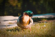 Free Duck On Grass Royalty Free Stock Images - 117917449