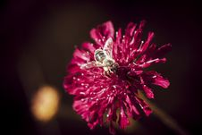 Free Macro Photo Of Bee Perched On Pink Flower Royalty Free Stock Photos - 117917468