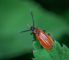 Free Horned Beetle Perched On Green Leaf Royalty Free Stock Photo - 117988875