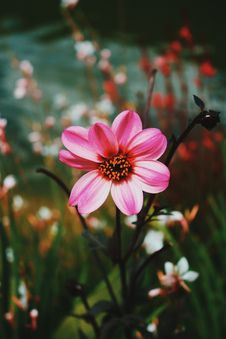 Free Pink Dahlia Flowers In Bloom Stock Images - 117989014