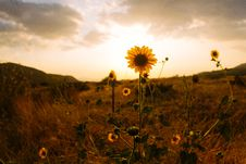 Free Sunflower On Hill Sepia Photography Royalty Free Stock Photo - 117989035