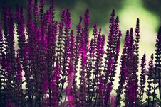 Free Purple Lavender Flowers Selective-focus Photography Royalty Free Stock Image - 117989096