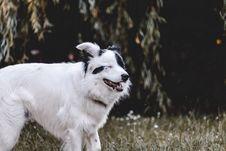 Free Adult White And Black Australian Shepherd Stock Photography - 117989172