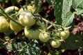 Free Green Tomato Royalty Free Stock Images - 1181059