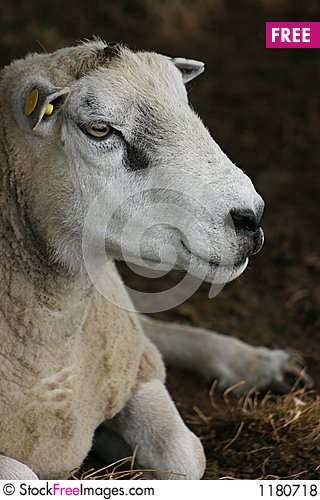Free Sheep Portrait Royalty Free Stock Photos - 1180718