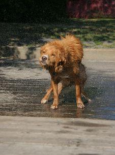 Free Dog Shake 5 Royalty Free Stock Photography - 1180057