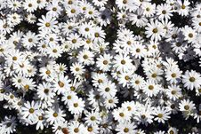 Free White Daisies Royalty Free Stock Images - 1180309
