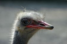 Free The Ostrich Stock Photography - 1180782