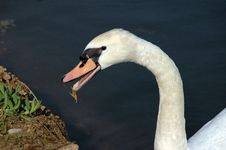 Free The Hungry Swan Stock Photo - 1180900