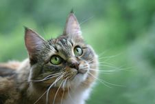 Free Cat With Green Eyes Stock Images - 1180914