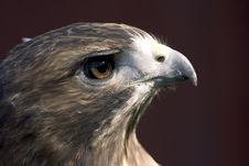 Free Portrait Of A Red-tailed Hawk Stock Photography - 1181722