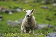Free Sheep Stock Image - 1182801