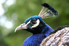 Free Peacock Royalty Free Stock Image - 1182806