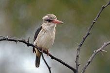 Kingfisher. Royalty Free Stock Photography