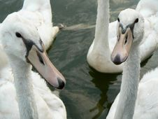 Free Swan Cygnets Stock Photography - 1189212