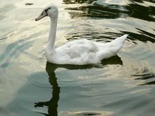 Swan Cygnet Royalty Free Stock Images