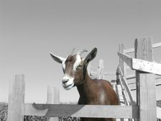 Free Goat 2 Stock Images - 1189344