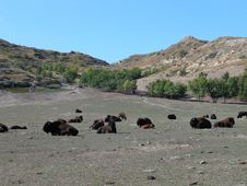 Free Wild Buffalo Herd 2 Royalty Free Stock Image - 1189376