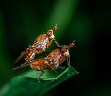 Free Macro Photography Of Two Fly On Leaf Royalty Free Stock Photos - 118041828