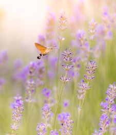 Free Brown Moth Hovering Over Purple Flower Royalty Free Stock Photography - 118041847