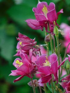 Macro Photo With Decorative Background Texture Petals Pink Color Of Herbaceous Plants Aquilegia Stock Photos