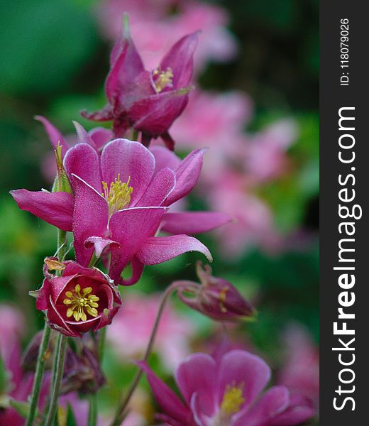 Macro photo with decorative background texture petals pink color of herbaceous plants Aquilegia