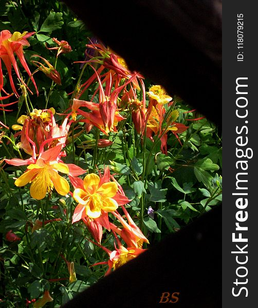 Macro photo with decorative background texture petals amber color of herbaceous plants Aquilegia