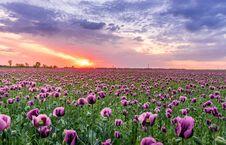 Free Purple Petaled Flower Field Stock Photos - 118112153