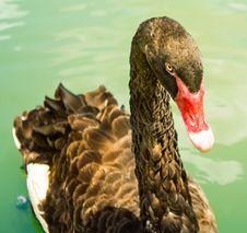 Free Beak, Ducks Geese And Swans, Water Bird, Bird Royalty Free Stock Photo - 118154065