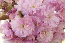 Free Flower, Pink, Blossom, Cherry Blossom Royalty Free Stock Photos - 118154228