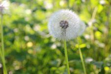 Free Flower, Dandelion, Flora, Plant Royalty Free Stock Photography - 118154317