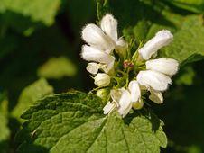 Free Subshrub, Plant, Bramble, West Indian Raspberry Royalty Free Stock Images - 118154349