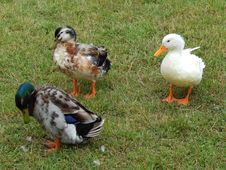 Free Duck, Bird, Water Bird, Ducks Geese And Swans Stock Image - 118154371