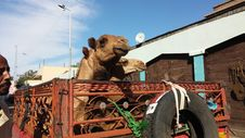 Free Vehicle, Snout, Statue, Camel Stock Photos - 118154373