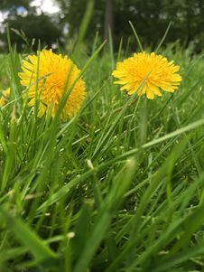 Free Flower, Dandelion, Grass, Golden Samphire Stock Photo - 118154460