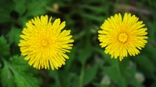 Free Flower, Dandelion, Sow Thistles, Flatweed Royalty Free Stock Photography - 118154507