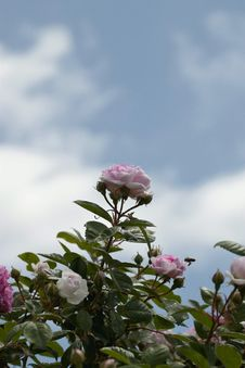 Free Sky, Flower, Plant, Pink Royalty Free Stock Images - 118154569